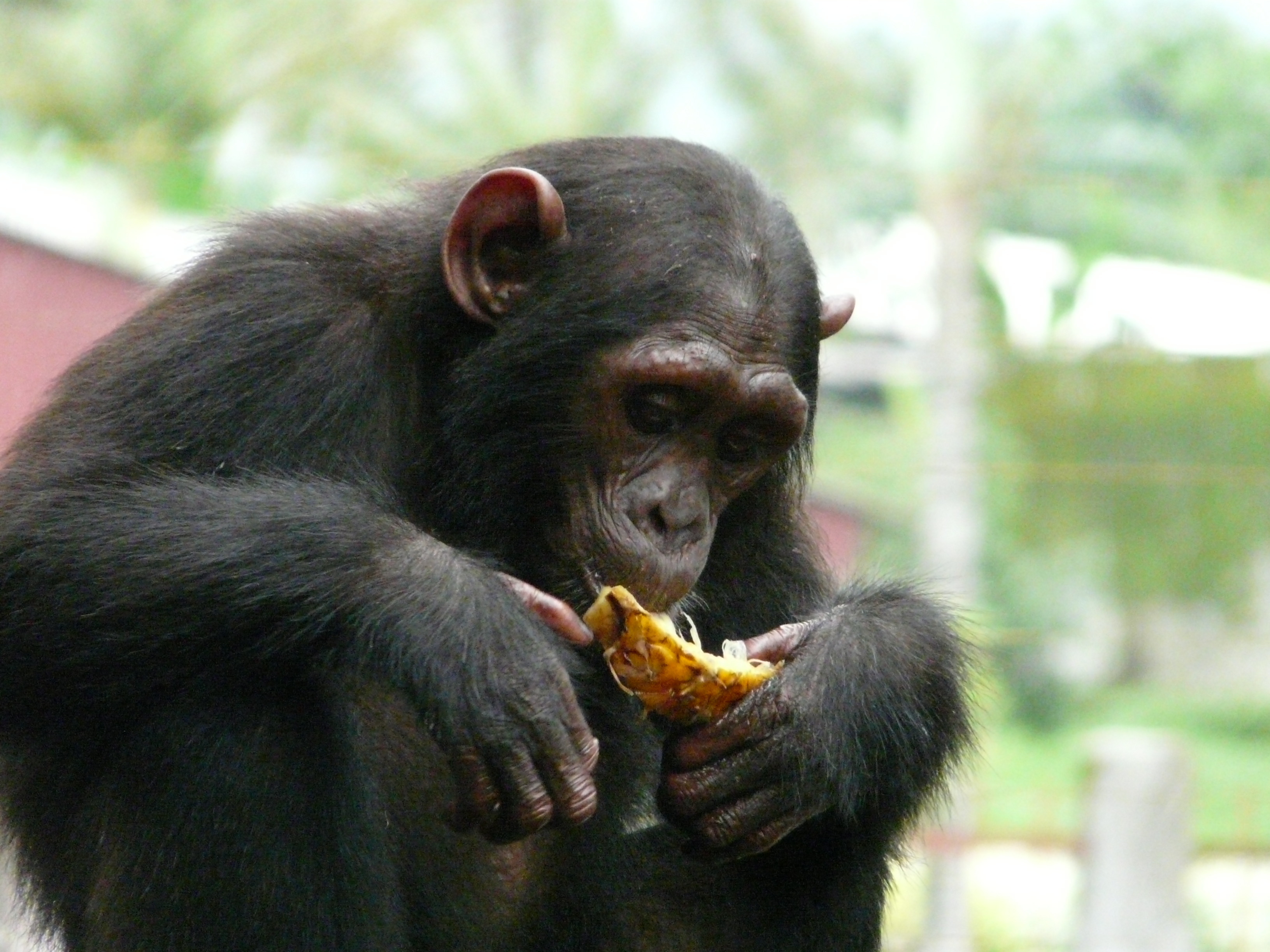 A Nigeria-Cameroon chimp rescued from illegal animal trafficking who now lives at the Limbe Wildlife Center in Cameroon.  -Photo Credit: Paul Sesink-Clee